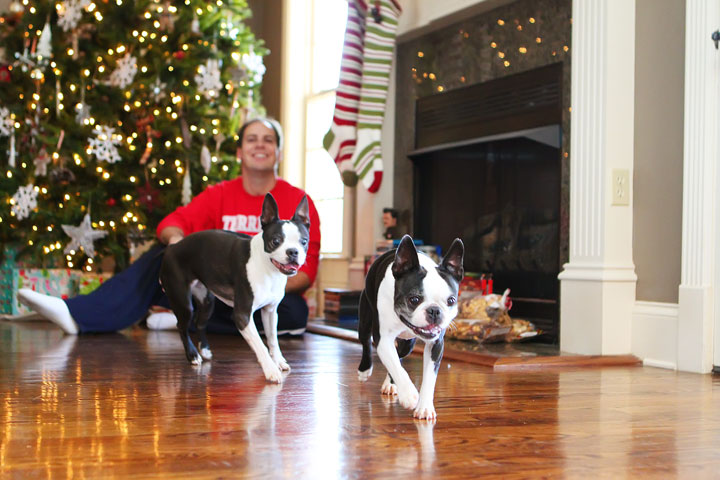 miley-and-howie-boston-terrier-puppies-open-christmas-presents-2013-1