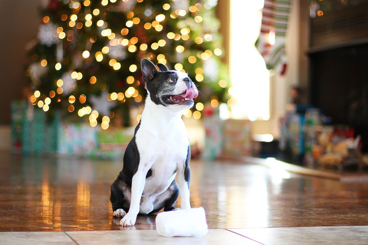 miley-and-howie-boston-terrier-puppies-open-christmas-presents-2013-10