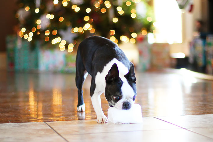 miley-and-howie-boston-terrier-puppies-open-christmas-presents-2013-11