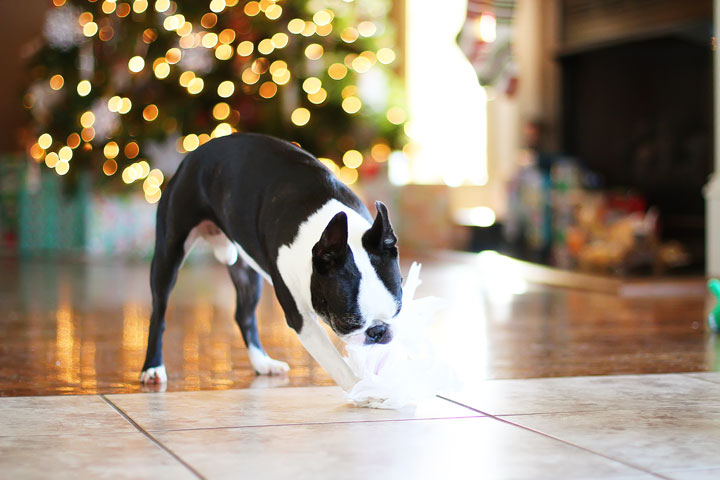 miley-and-howie-boston-terrier-puppies-open-christmas-presents-2013-12