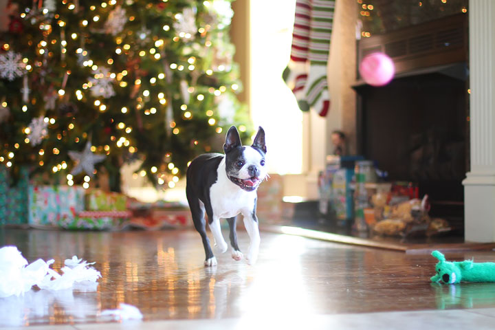 miley-and-howie-boston-terrier-puppies-open-christmas-presents-2013-14