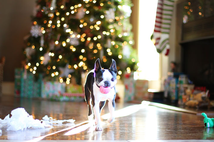 miley-and-howie-boston-terrier-puppies-open-christmas-presents-2013-15
