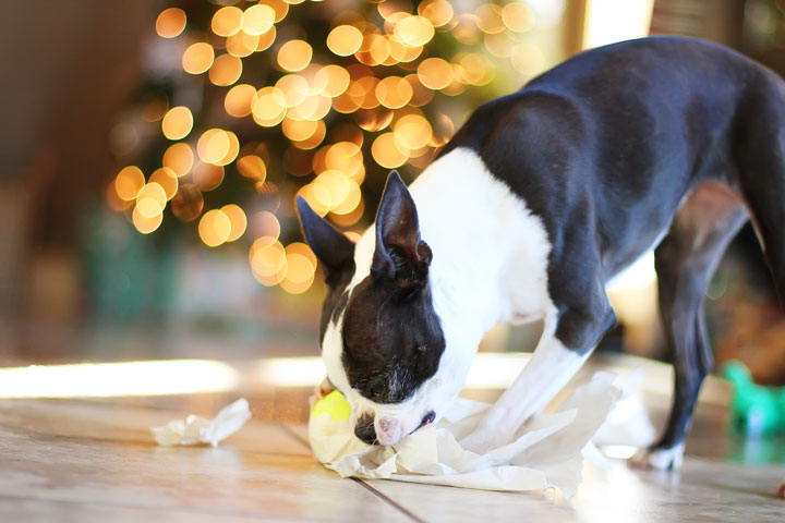 miley-and-howie-boston-terrier-puppies-open-christmas-presents-2013-17