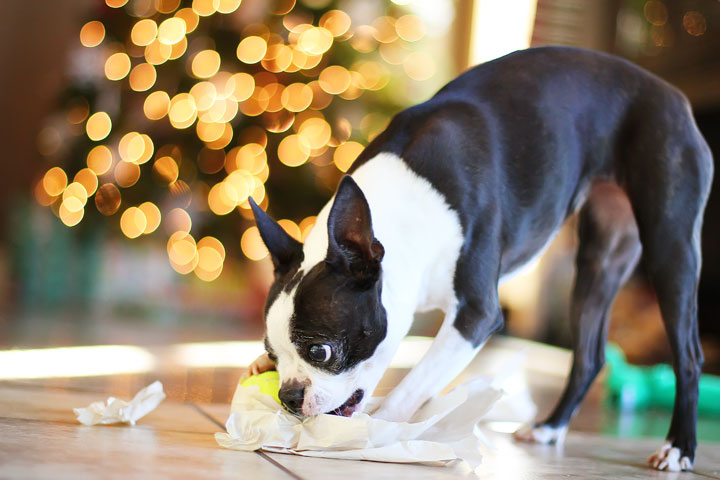 miley-and-howie-boston-terrier-puppies-open-christmas-presents-2013-18