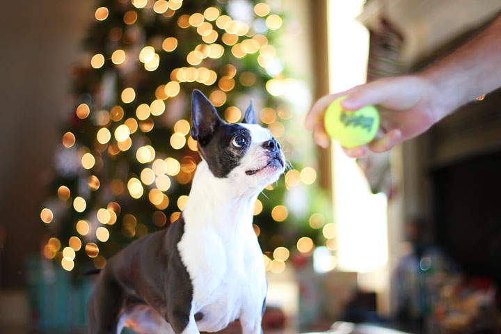 miley-and-howie-boston-terrier-puppies-open-christmas-presents-2013-19