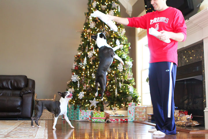 miley-and-howie-boston-terrier-puppies-open-christmas-presents-2013-2