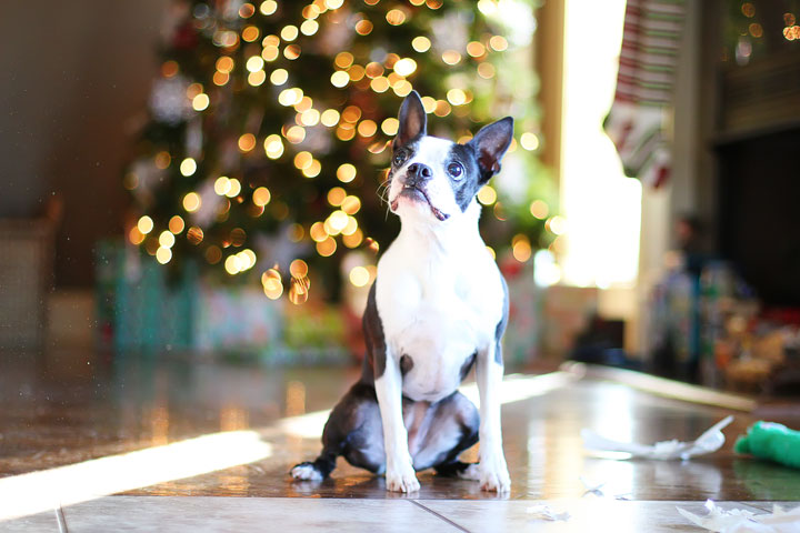 miley-and-howie-boston-terrier-puppies-open-christmas-presents-2013-21