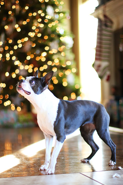 miley-and-howie-boston-terrier-puppies-open-christmas-presents-2013-22