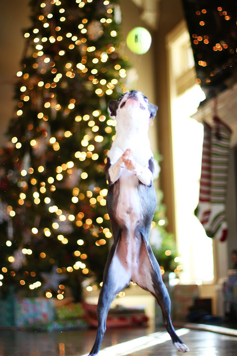 miley-and-howie-boston-terrier-puppies-open-christmas-presents-2013-23