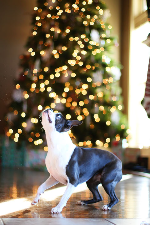 miley-and-howie-boston-terrier-puppies-open-christmas-presents-2013-24