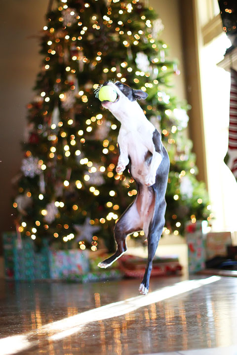 miley-and-howie-boston-terrier-puppies-open-christmas-presents-2013-25