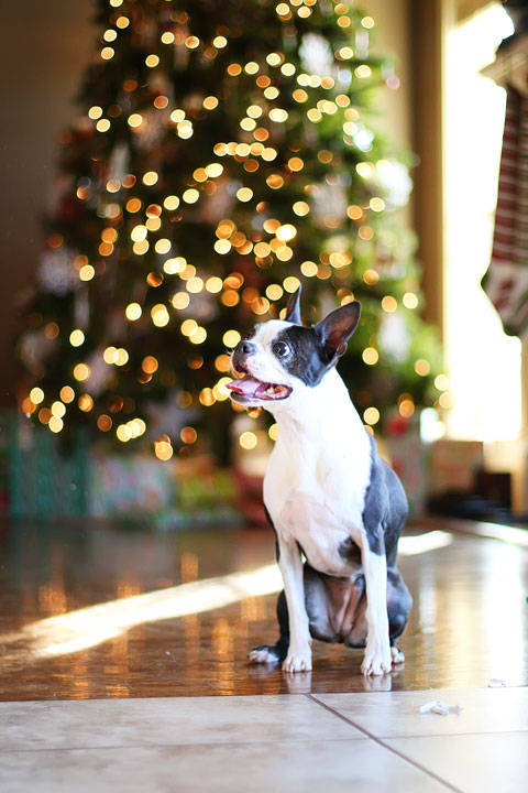 miley-and-howie-boston-terrier-puppies-open-christmas-presents-2013-26