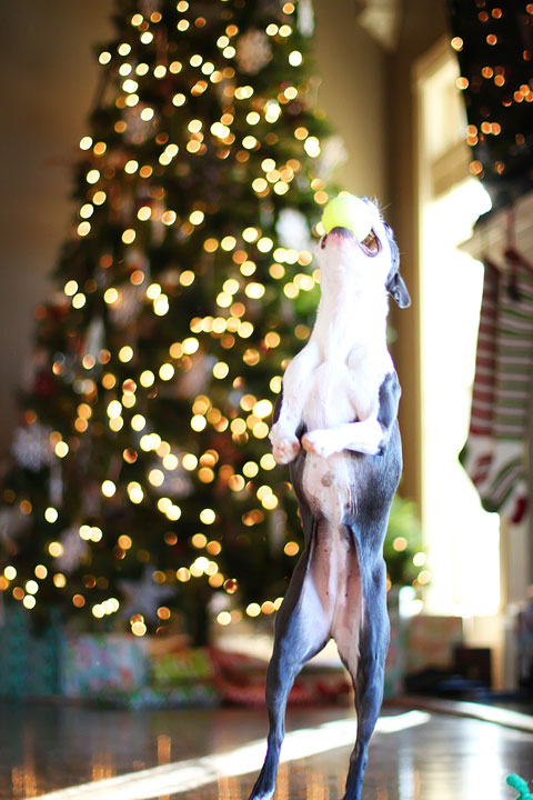 miley-and-howie-boston-terrier-puppies-open-christmas-presents-2013-27