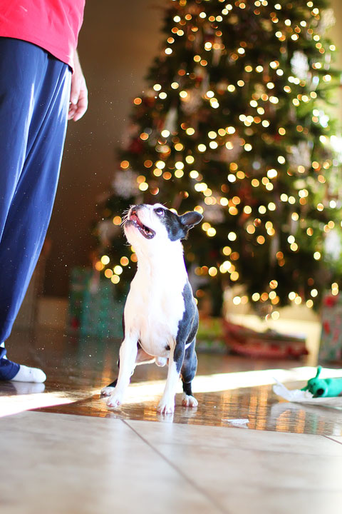 miley-and-howie-boston-terrier-puppies-open-christmas-presents-2013-32