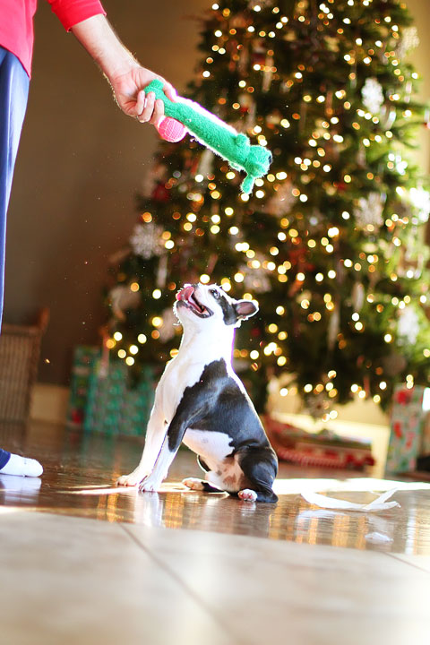 miley-and-howie-boston-terrier-puppies-open-christmas-presents-2013-33