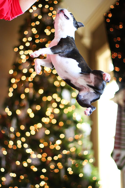 miley-and-howie-boston-terrier-puppies-open-christmas-presents-2013-37