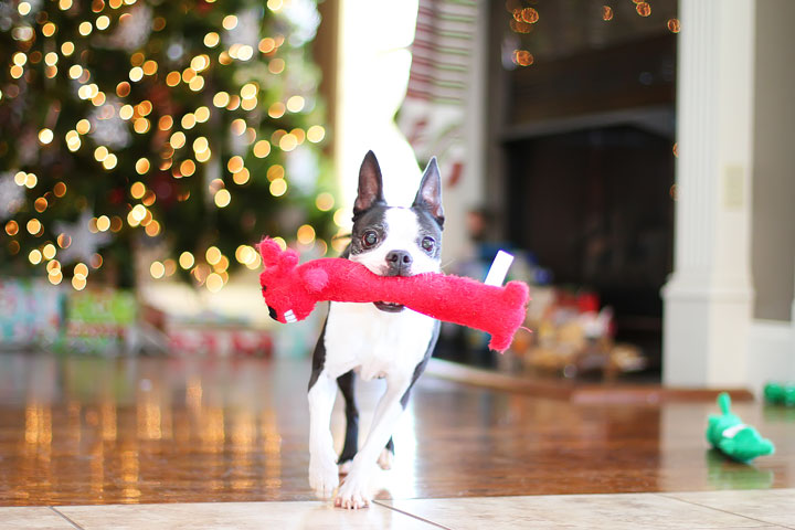 miley-and-howie-boston-terrier-puppies-open-christmas-presents-2013-4