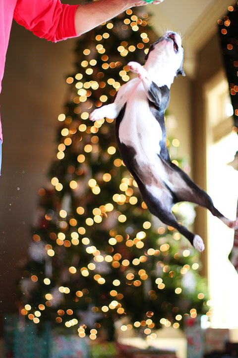 miley-and-howie-boston-terrier-puppies-open-christmas-presents-2013-43