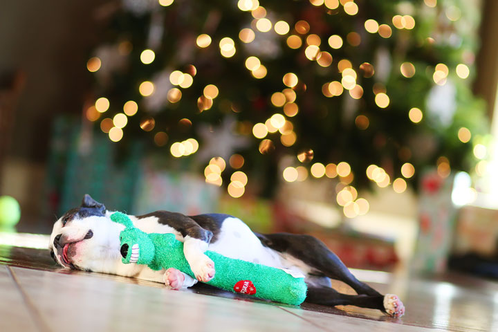 miley-and-howie-boston-terrier-puppies-open-christmas-presents-2013-45