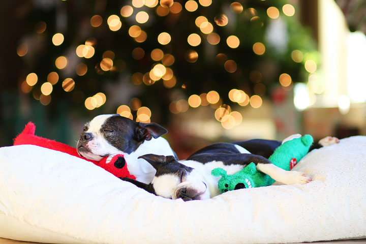 miley-and-howie-boston-terrier-puppies-open-christmas-presents-2013-47