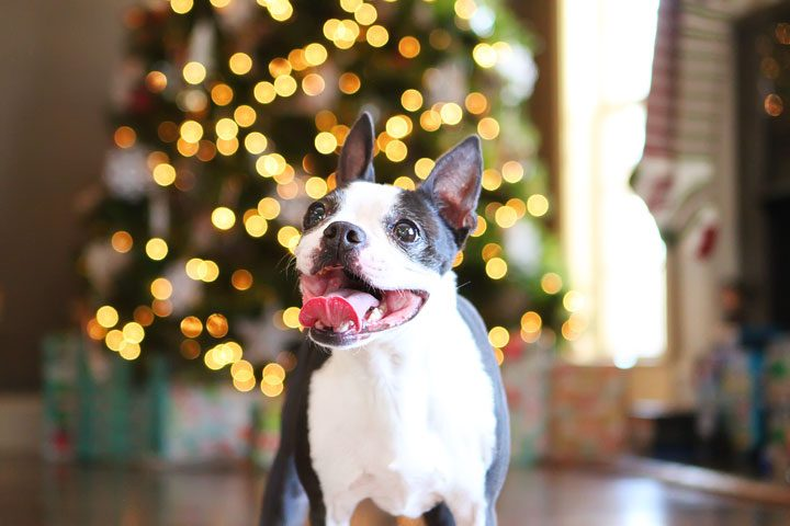 Image of Howie in Front of the Christmas Tree