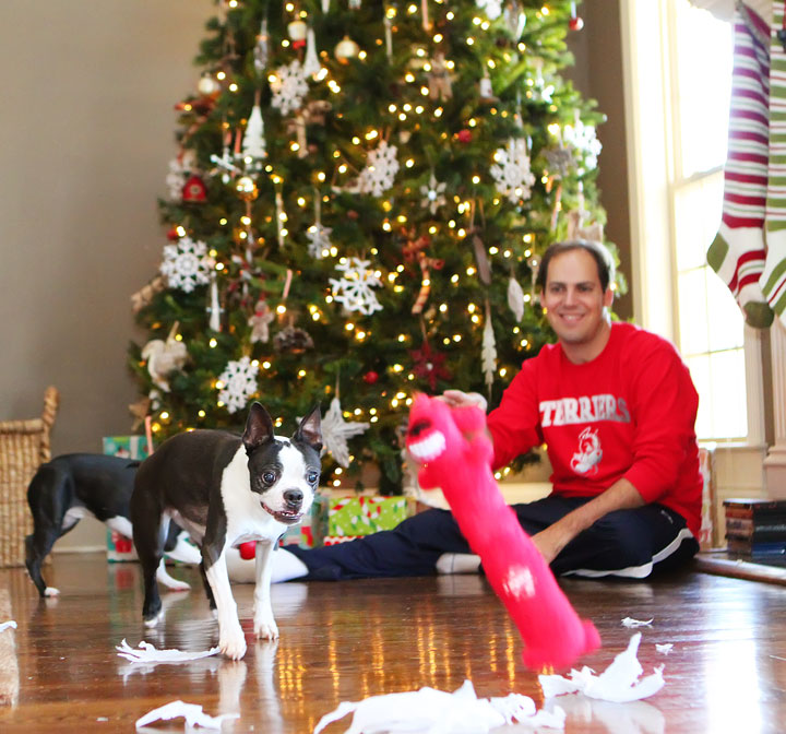 miley-and-howie-boston-terrier-puppies-open-christmas-presents-2013-6