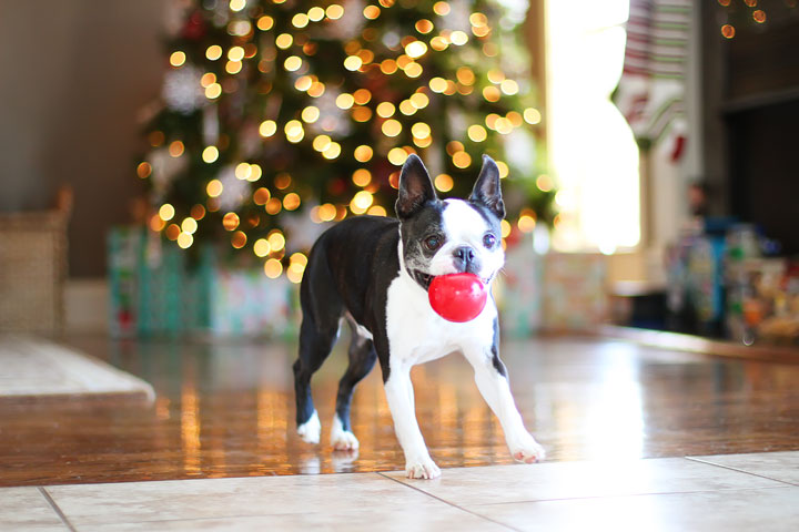 miley-and-howie-boston-terrier-puppies-open-christmas-presents-2013-7