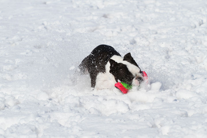 Boston Terrier Playing In The Snow 10