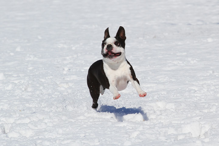 Boston Terrier Playing In The Snow