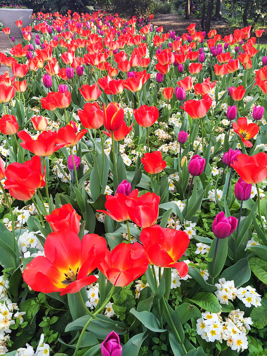 Tulips in London. Tips for Planning a London Vacation. www.kevinandamanda.com. #travel #london #england