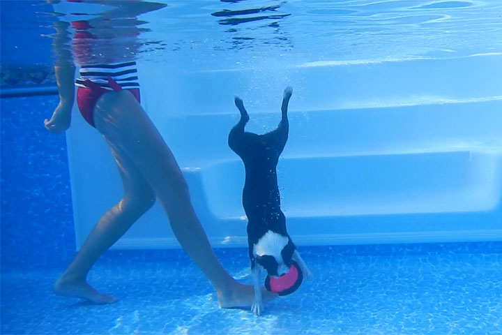 Boston Terrier DIVES to the bottom of the pool!
