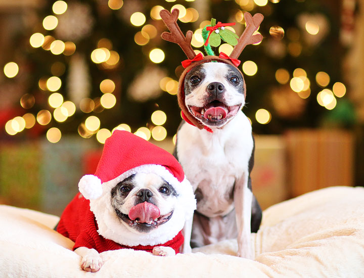 Boston Terriers Miley and Howie are dressed up like Santa and his reindeer for Christmas!