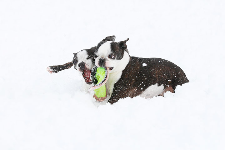 Boston Terriers in the Snow!