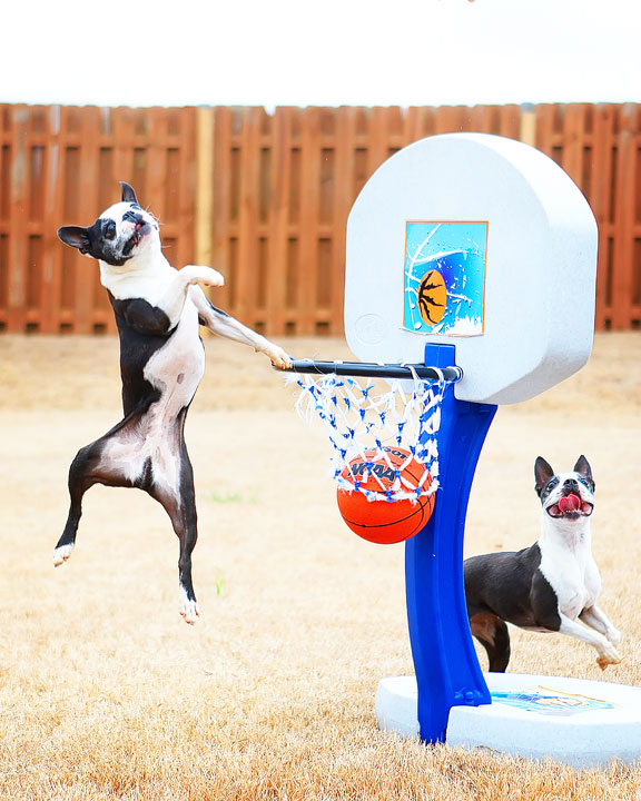 Dogs rule the court during this Boston Terriers slam dunk contest for March Madness!! #basketball #MarchMadness