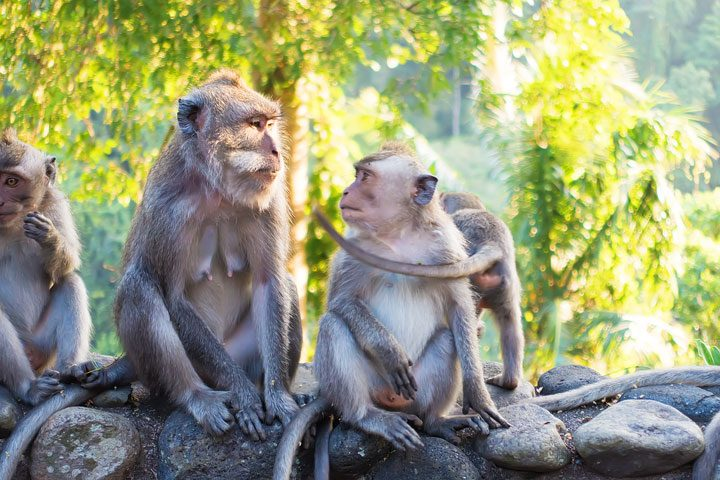 These wild monkeys in Bali hang out at in the rainforest near the Alila Ubud hotel and come out to greet guests at sunset.