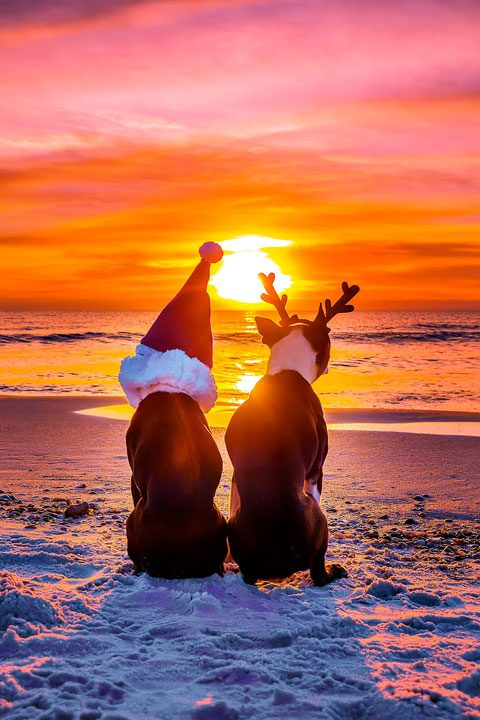 Boston Terriers Christmas on the Beach at Sunset