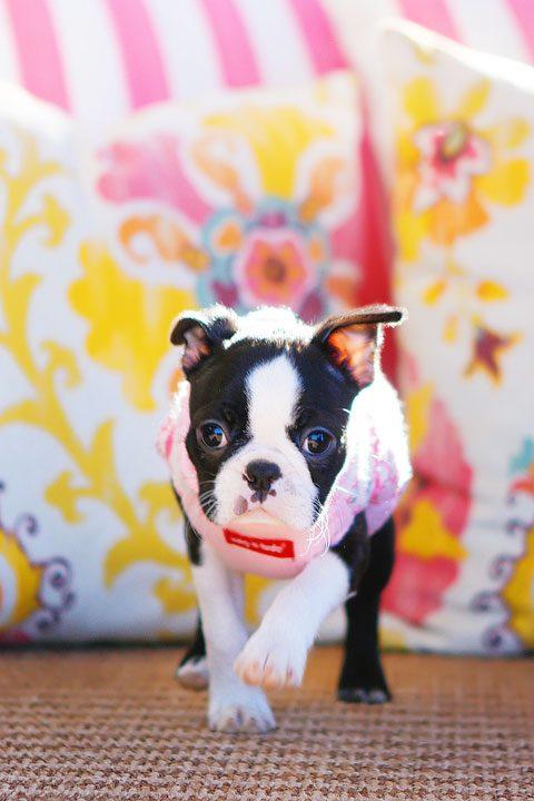 Winnie the Boston Terrier Puppy!