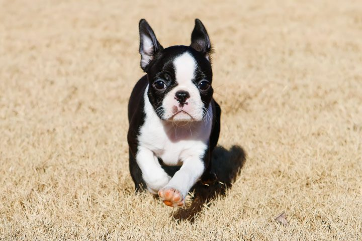 Winnie the Boston Terrier Puppy!