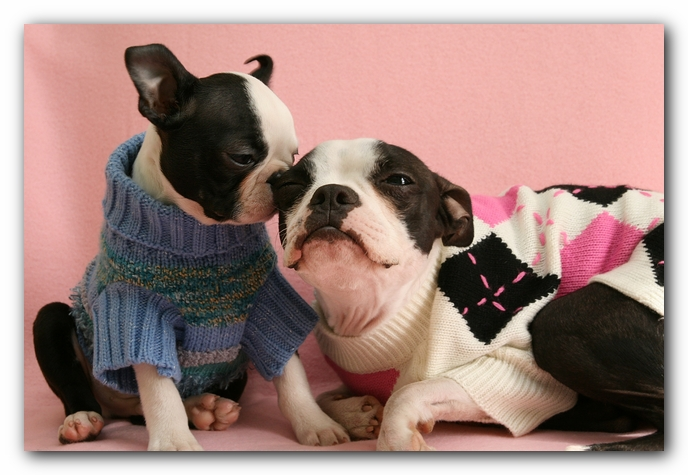 Boston Terrier Puppy Valentine's Day Hearts Love Kisses