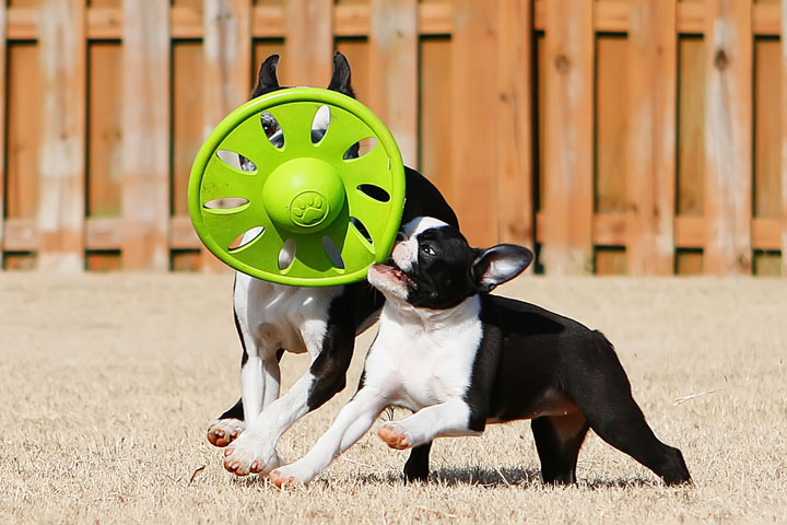 Winnie the Boston Terrier Puppy