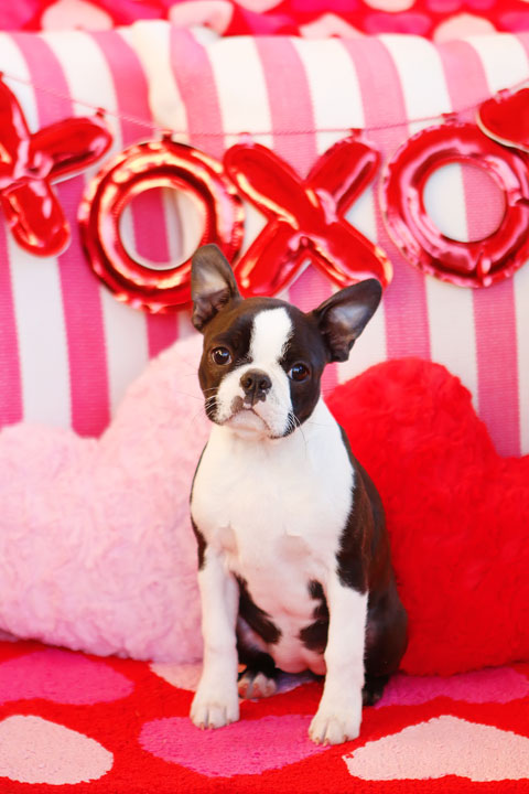 Boston Terrier Puppy Valentine's Day Hearts Love
