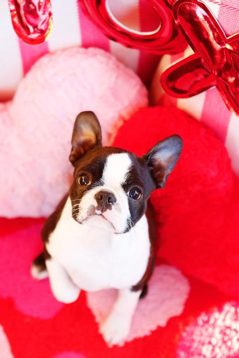 Boston Terrier Puppy Valentine's Day Hearts Love