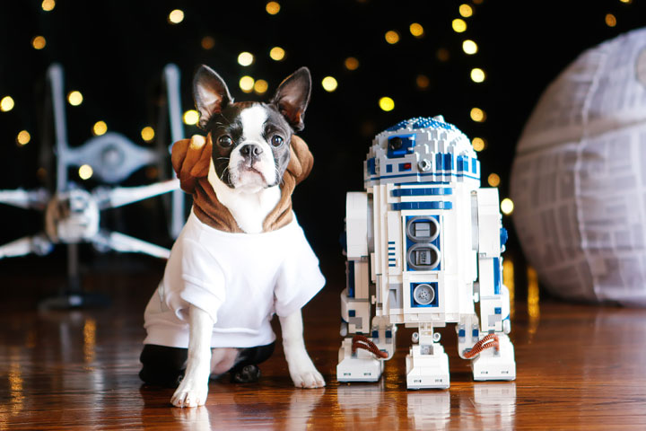 Cute Boston Terrier Puppies celebrating Star Wars Day! May the Fourth Be With You!