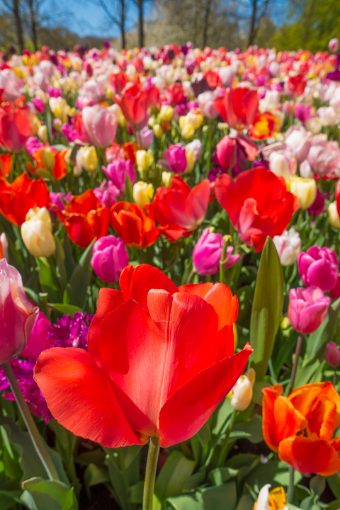 When & Where to See the Tulips in Holland (the Netherlands). Just 30 minutes from Amsterdam