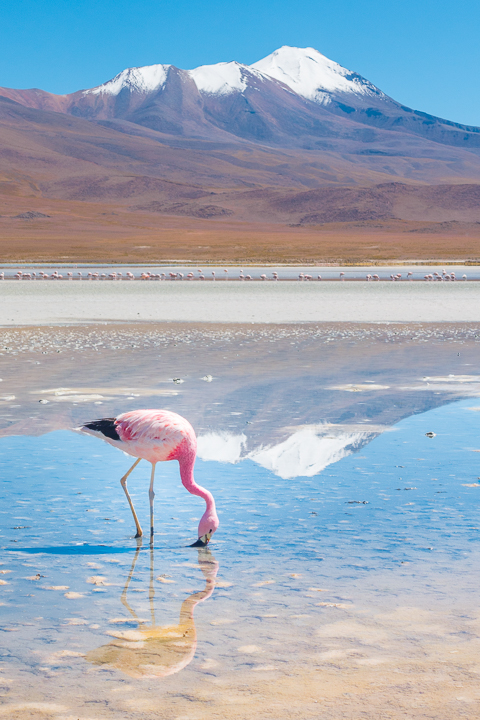 Salt Flats Bolivia — Pink Flamingo at the Salar De Uyuni