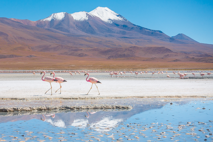Salt Flats Bolivia — Pink Flamingos at the Salar De Uyuni