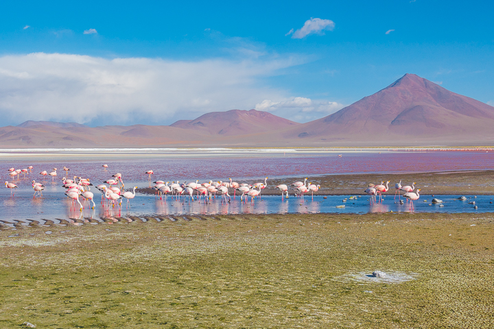 Salt Flats Bolivia — Pink flamingos at Laguna Colorada near Salar De Uyuni