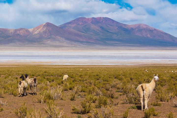 Salt Flats Bolivia — Alpaca near Salar De Uyuni