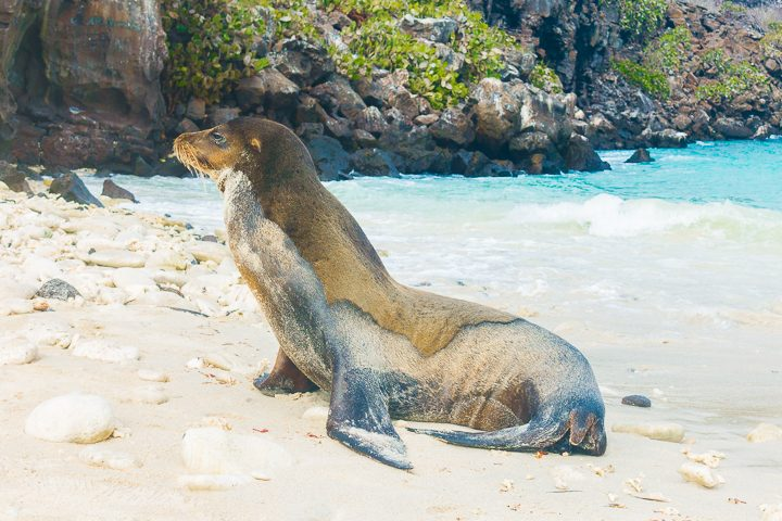 Ultimate Guide to the Galapagos Islands! Where to see the most animals, how many days to spend in the Galapagos Islands, and the best way to visit the Galapagos Islands. #Santiago #Rabida #Bartolomé #Ecuador #santacruz #genovesa