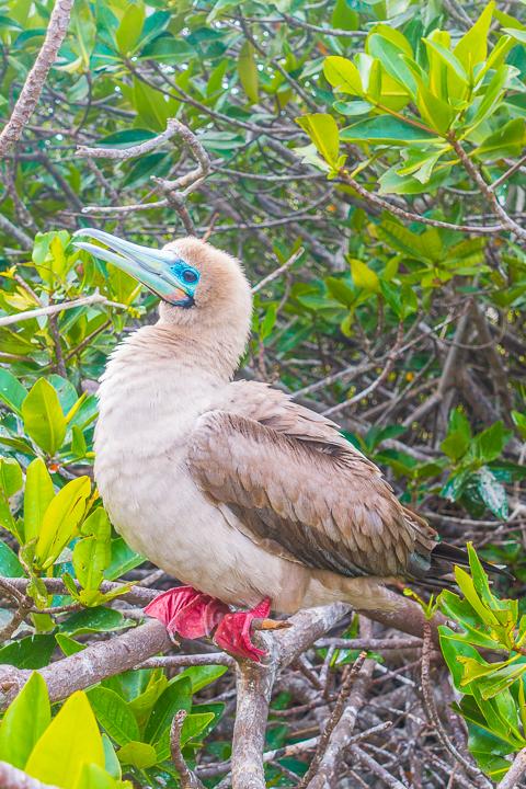 Ultimate Guide to the Galapagos Islands! Where to see the most animals, how many days to spend in the Galapagos Islands, and the best way to visit the Galapagos Islands. #Santiago #Rabida #Bartolomé #Ecuador #santacruz #genovesa